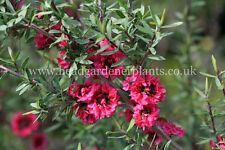 LEPTOSPERMUM RED DAMASK HARDY SHRUB X 1