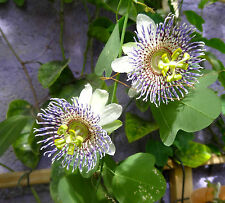 Passionflower Freshly harvested Passiflora Elegans seeds 20 seeds