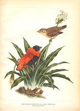 ORANGE WEAVER, NORTHERN RED BISHOP ~ Colored Bird Art Print Lithograph