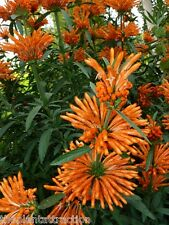 Leonotis Leonurus 20 Seeds, Lion's Tail / Ear Or Wild Dagga, Shrub Plant
