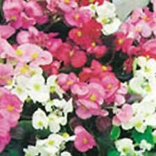 Kings Seeds - Begonia, Sunshine Carpet -  750 Seeds
