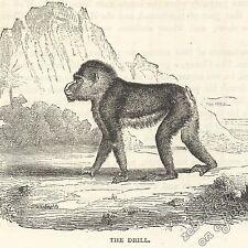 TRAPANO Monkey: Antico 1866 stampa incisione-Primate FOTO ARTE Natura Fauna Selvatica