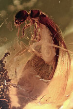 SUPERB Winged Termite Isoptera Large Insect Inclusion BALTIC AMBER + HQ Picture