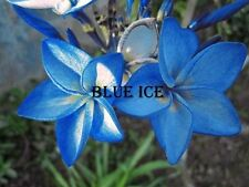 """""""BLUE ICE"""" FRAGRANT CUTTING PLUMERIA 7-12 INCHE HAVE ROOTED BLOOM THIS YEAR"""