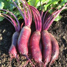 Beetroot - Alto F1 - 300 Seeds