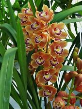 30 Orange Chinese cymbidium balcony seeds, orchid semente decorative flowers,