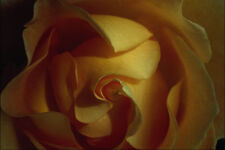 754098 Rose Soft Focus Close up A4 Photo Texture Print