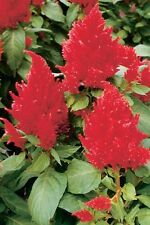 Flower Seed: Castle Series Scarlet Celosia 40 Seeds  Fresh Seed    FREE SHIPPING