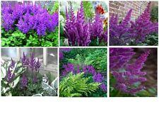Purple Astilbe    Perennial Flowering Plant     100 Seeds