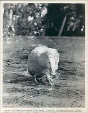 1961 Duck Drinks From Champagne Glass Everything's Ducky 1960s Film Press Photo