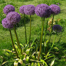 Zierlauch•Allium hollandicum 'Purple Sensation'•20 Samen/seeds•winterhart