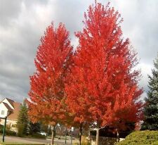 RED MAPLE (Acer rubrum) 30 seeds