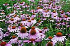 PURPLE CONEFLOWER SEED, 500 SEEDS, ORGANIC, BEAUTIFUL PURPLE CONEFLOWERS