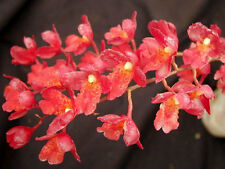 BIN-Howeaara Lava Burst 'Puanani' AM/AOS Easy To Grow & Bloom! Collector's item