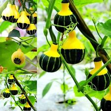 15 PCS Pumpkin Seeds Rare Chinese Rainbow Bulb Vegetable Seeds Home Garden Plant