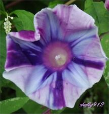 Fuji Swirl Japanese Morning Glory Seeds - ipomoea Nil - New - RARE!