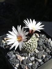 25 seeds  Turbinicarpus valdezianus var. albiflorus cactus