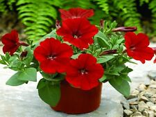25 Pelleted Petunia Seeds Ramblin Red Trailing Petunia