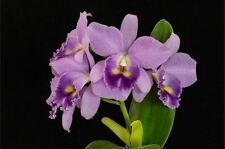 BIN-2) Plants-Lc. Blue Grotto 'Takagi'  Nice Cluster bloomer! Easy to grow!