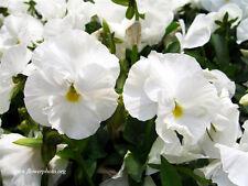 PANSY SWISS - WHITE LADY FLOWER - Viola wittrockiana - 550 seeds