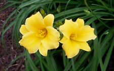 Stella De Oro Daylily -  - Single Fan Divisions  - Bare Root Plant - 10 pack