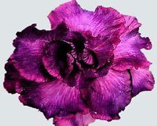 Desert Rose Desert Shadowland 5 seeds Rare US seller Adenium