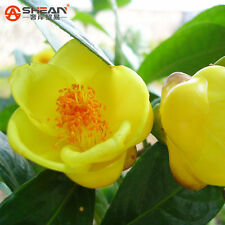 A Pack 100 Pcs Yellow Camellia Seeds Potted Plants Terrace Garden Flower Seeds