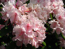 50 PINK ROYAL AZALEA Rhododendron Schlippenbachii Bush Shrub Flower Seeds