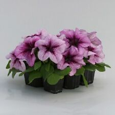 50 Pelleted Prism Raspberry Sundae Petunia Seeds