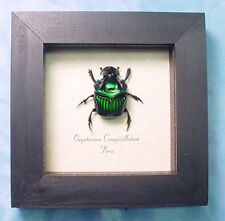 Real Framed Oxysternon Conspicillatum Male Green Devil Scarab Beetle 2520M