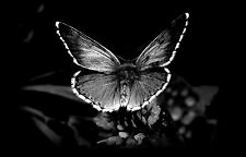 Framed Print - Black & White Image of a Butterfly (Picture Poster Animal Art)