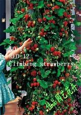 Red-12 Strawberry Rich in Vitamin  500 seeds No.14 horticulture