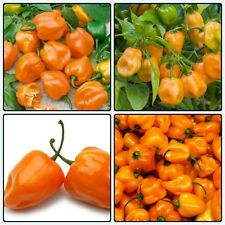 Rare Exotic Hottest Orange Habanero Chile Pepper 25 Seeds, Hottest Pepper