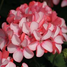 Flower seeds- Geranium Maverick Appleblossom Pelargonium Flower Pink