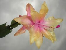 CHRISTMAS CACTUS, SCHLUMBERGERA 'YELLOW KING' NEW VARIETY FIRST TIME OFFERED!!!