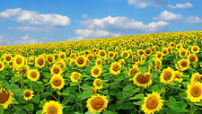 "Poster 24"" x 16"" Sunflowers Field Sky Clouds Nature Summer"