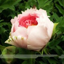 Heirloom Light Pink Rose Red Tree Peony 'Qiu Ball' plant Flower 5 Seeds Fragrant