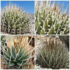 50 seeds of Agave utahensis var. eborispina, succulents, cacti,succulents seed C