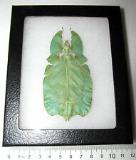 REAL LEAF MIMIC PHYLLIUM FRAMED INSECT