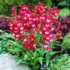 20+ Red/White Penstemon Hartwegii Flower Seeds / Perennial