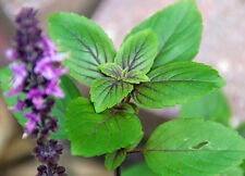 "Purple-Green Thai Sweet Basil - A Herb Still Considered the ""King of Herbs"""
