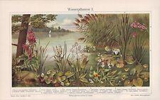 WASSERPFLANZEN Seerose Schilfrohr Kalmus Lithographie um 1900 Froschlöffel