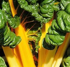 40 Yellow CANARY SWISS CHARD Beta Vulgaris Perpetual Spinach Vegetable Seeds