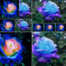 50Pcs Rare Blue-Pink Rose Flower Seeds Beautiful Potted Yard Garden Bonsai Plant