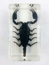 Real Giant Forest Scorpion Insect Specimens In Lucite Paperweight Acrylic Crafts