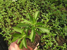 1000 ORGANIC NON GMO STEVIA REBAUDIANA SEEDS +DRY LEAVES FREE SAMPLE