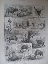 La CACCIA gaour o INDIAN BISON 1887 old print India
