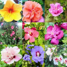 Hibiscus Rose of Sharon Syriacus 50 Seeds Mixed Colors Bush Tree