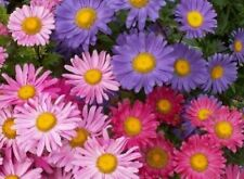 SINGLE MIX ASTER FLOWER SEEDS FREE SHIPPING 50 FRESH SEEDS
