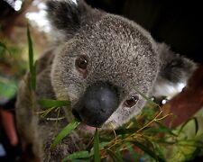 Koala Bear  8 x 10 GLOSSY Photo Picture IMAGE #6